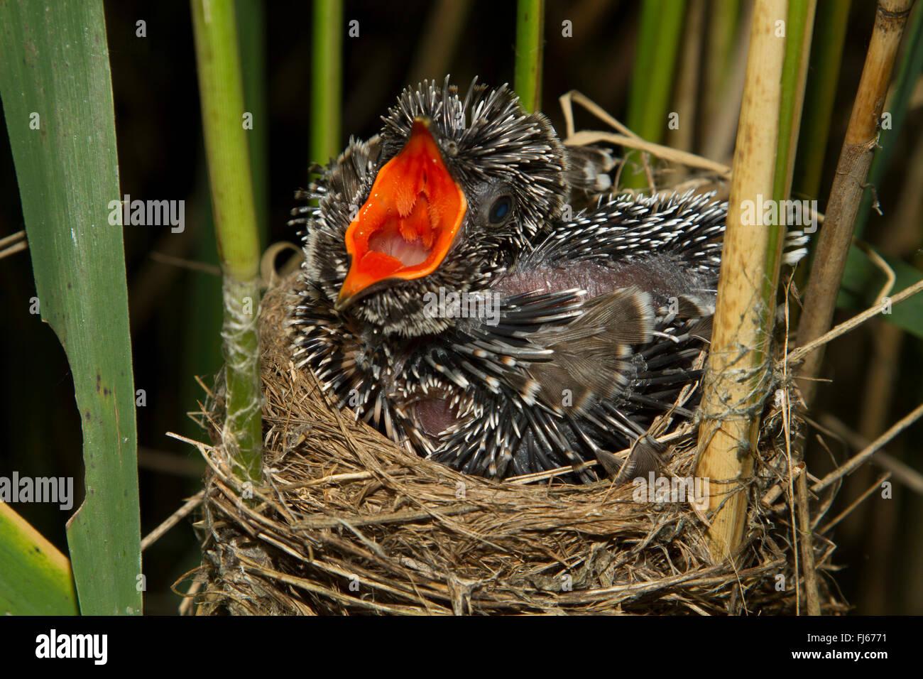 Eurasian cuculo (Cuculus canorus), sette giorni cucù in un reed trillo nido, minacciando, in Germania, in Baviera, Immagini Stock