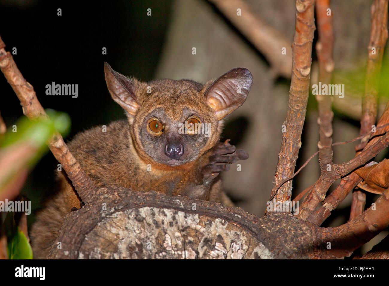 Senegal bush baby, minor bush baby, Senegal galago (Galago senegalensis), seduto su un ramo, di sera, Sud Africa Immagini Stock