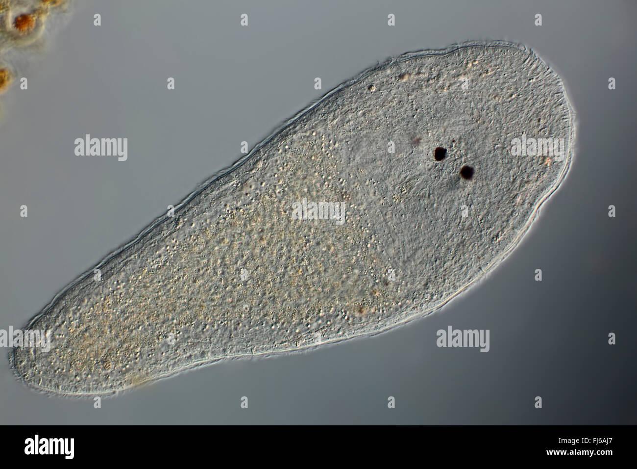 Turbellarians (Turbellaria), microscopia Immagini Stock