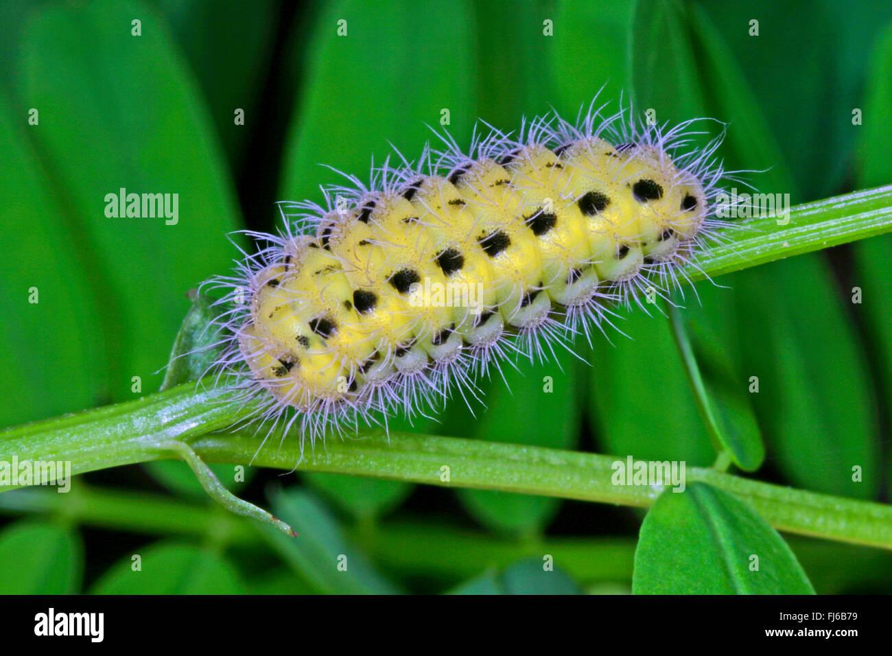 La variabile Burnett (Zygaena ephialtes), Caterpillar, Germania Immagini Stock