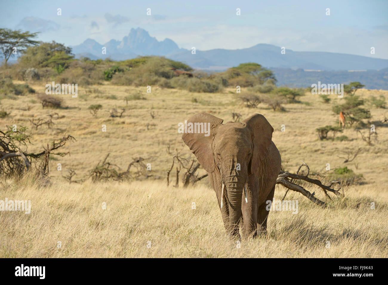 Elefante africano (Loxodonta africana) camminando nell'ambiente, con il monte Kenya in background, Lewa Wildlife Immagini Stock