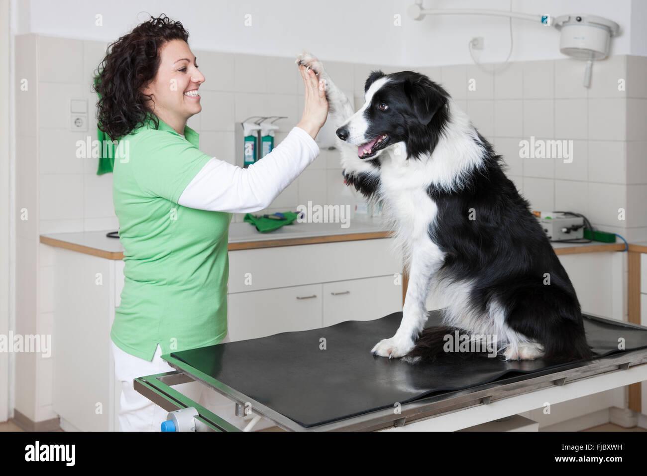 Veterinario, femmina vet facendo un alto cinque con il cane, Dammi il cinque, Border Collie Immagini Stock