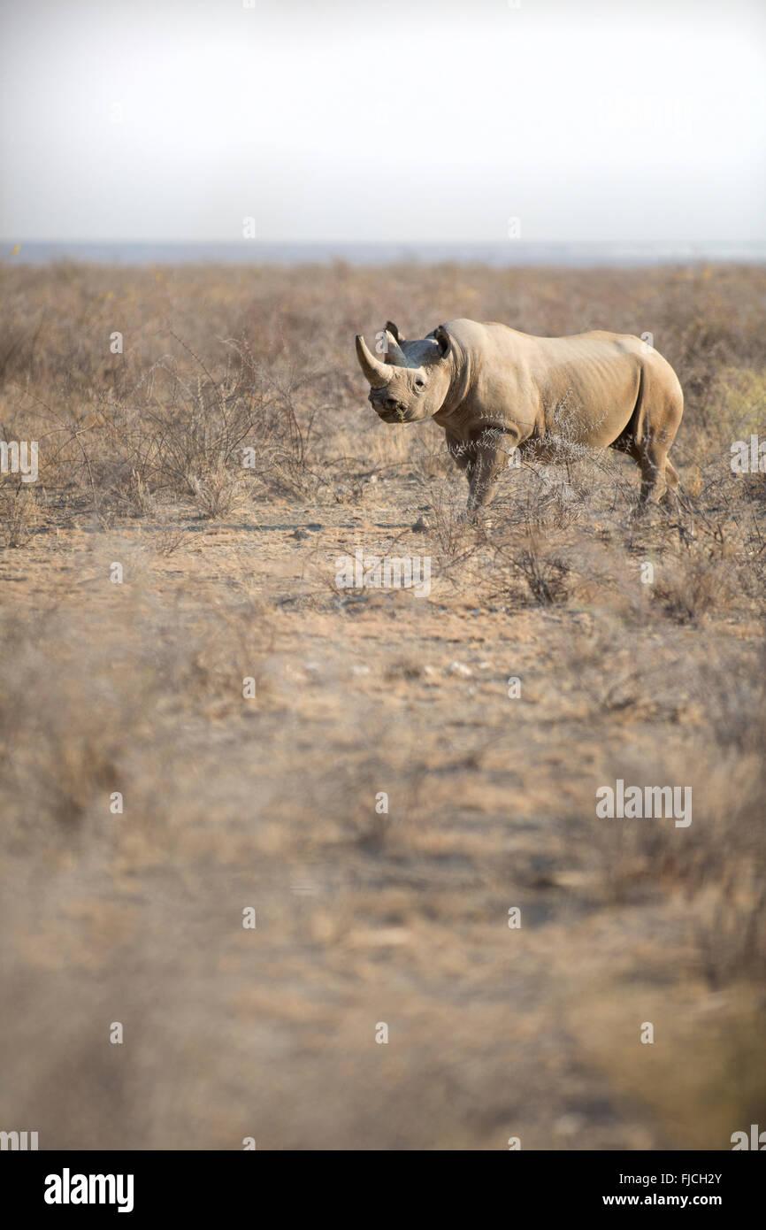 Un rinoceronte nero Immagini Stock