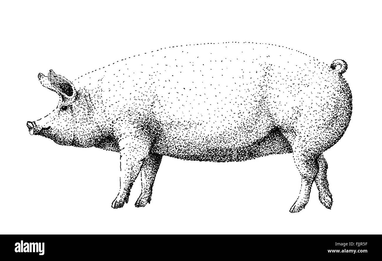 Grande bianco illustrazione di maiale vecchio stile di litografia Immagini Stock