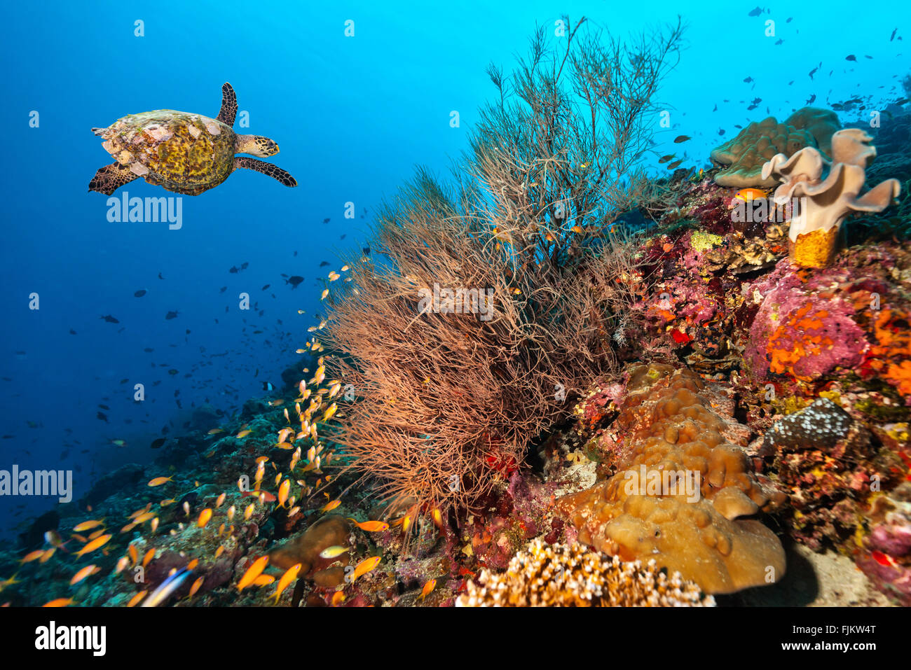 Coral reef con la tartaruga Immagini Stock