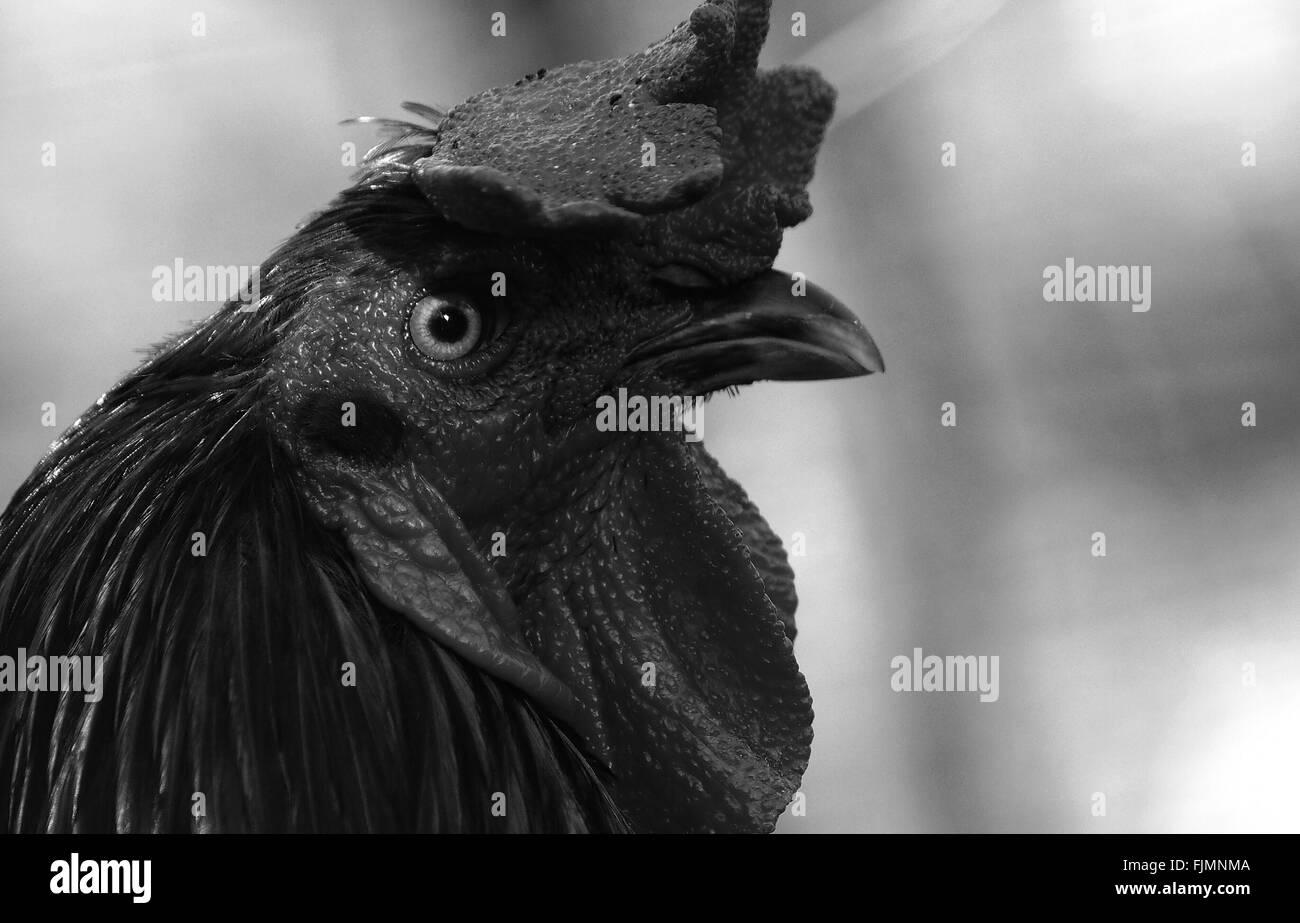 In primo piano della Rooster Immagini Stock