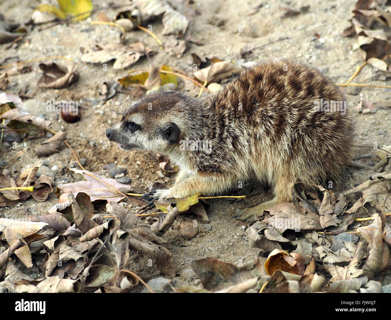 Angolo di Alta Vista di meerkat sul campo disordinato Immagini Stock