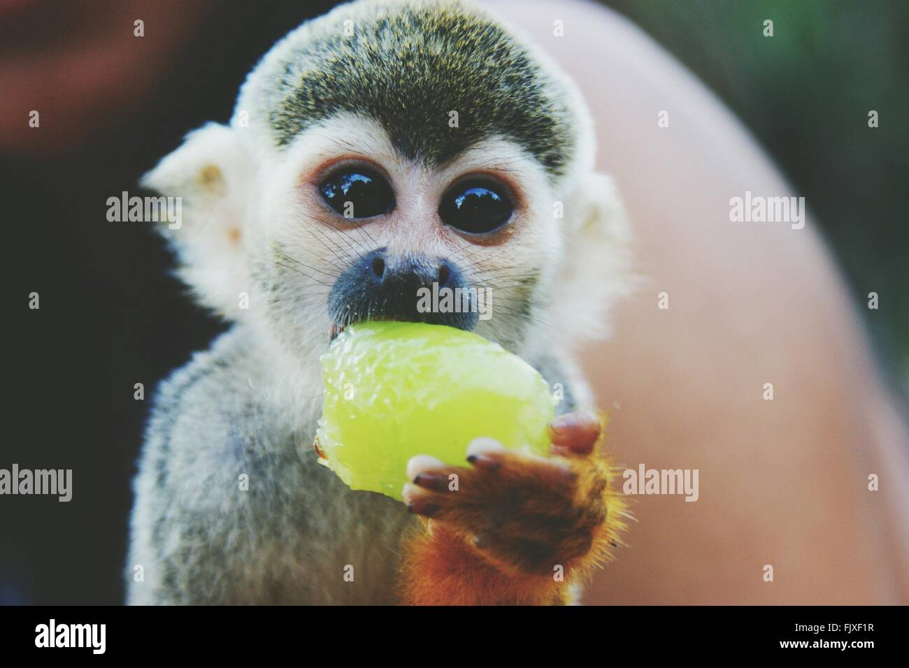 Ritratto di Scimmia di scoiattolo mangiando frutta all'aperto Immagini Stock
