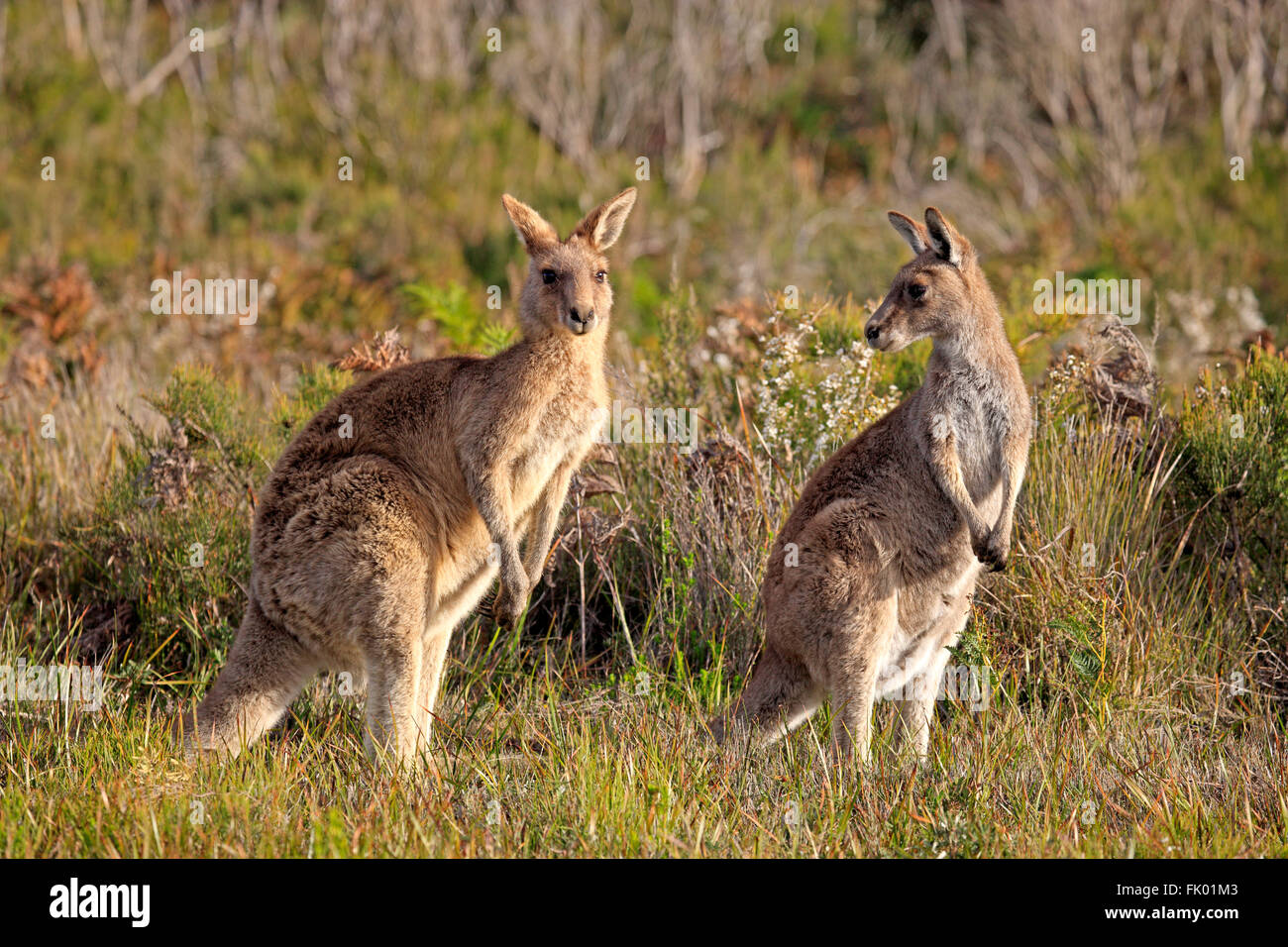 Orientale Canguro grigio, Wilson promontorio Nationalpark, Victoria, Australia / (Macropus giganteus) Immagini Stock