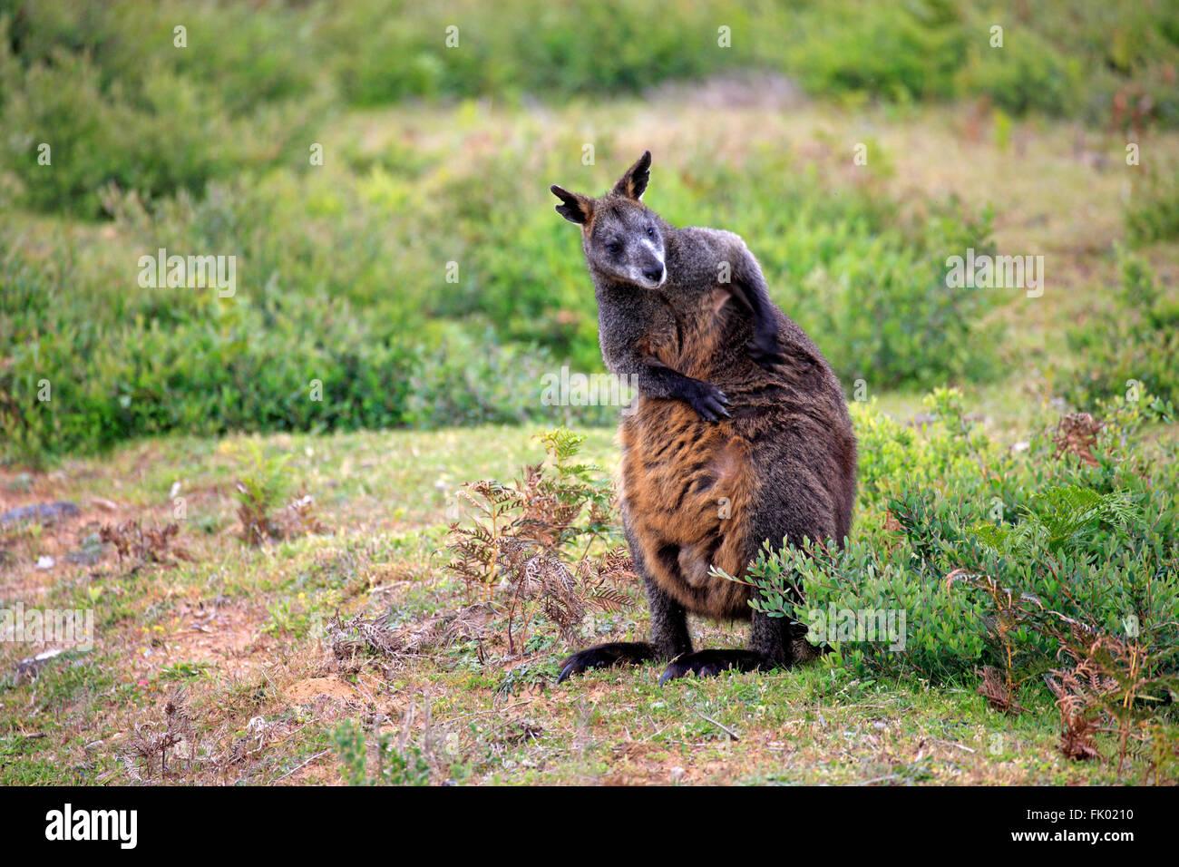 Swamp Wallaby, adulto, Wilson promontorio Nationalpark, Victoria, Australia / (Wallabia bicolor) Immagini Stock