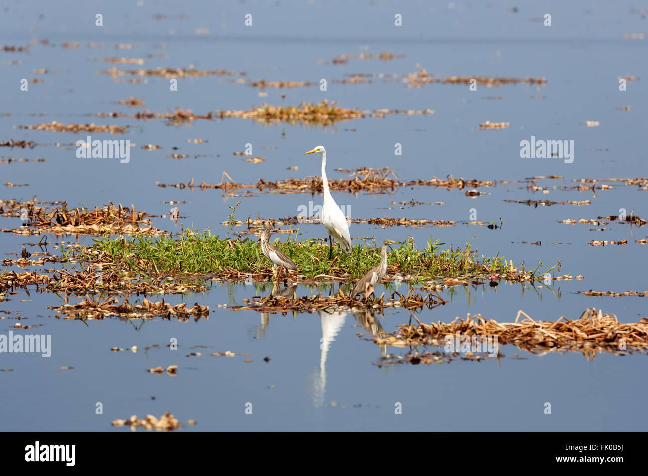 Airone bianco maggiore, Ardea alba, Kochi, Kerala, India, Asia Immagini Stock