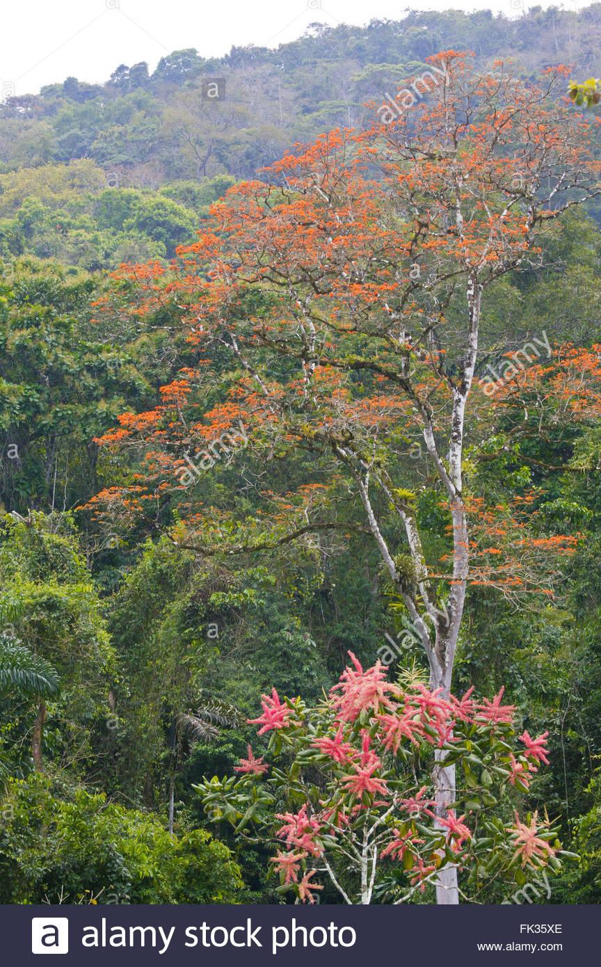 Foresta di pioggia a Cana nel Parco Nazionale del Darién, Repubblica di Panama. Immagini Stock