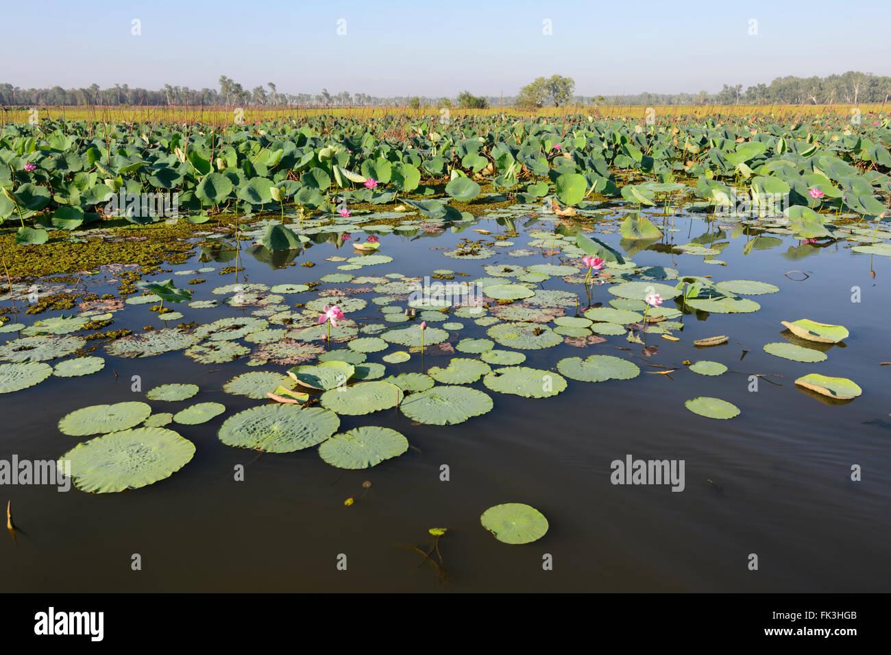 Acqua gialla Billabong, Parco Nazionale Kakadu, Northern Territory, NT, Australia Foto Stock