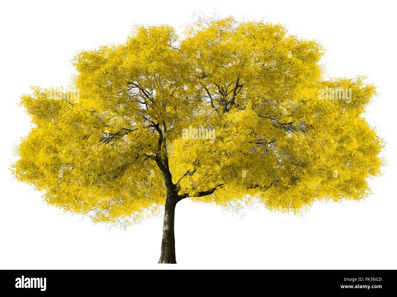 Grande albero giallo isolato su sfondo bianco Immagini Stock