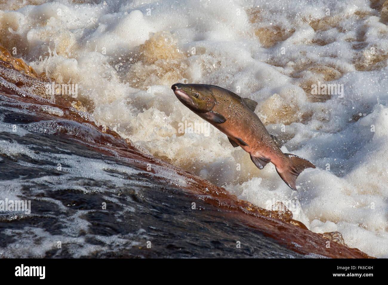 Salmone atlantico (Salmo salar) salta sulla migrazione a monte, sul fiume Tyne, Hexham, Northumberland, England, Immagini Stock