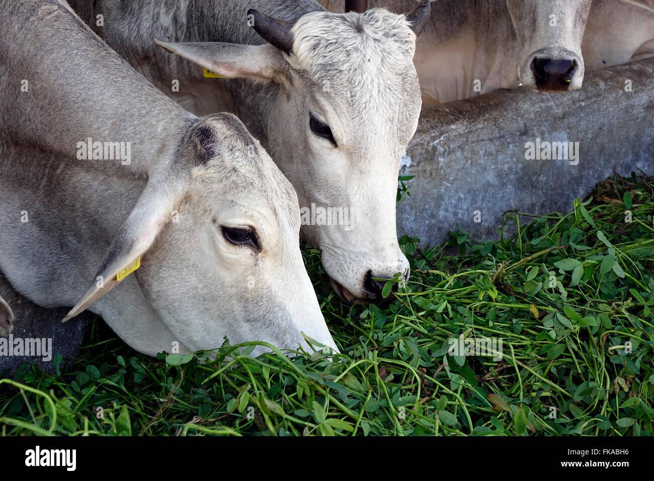 Mucche mangiano foraggi nelle loro versato presso il National Dairy Research Institute (NDRI), Karnal, Haryana, Immagini Stock