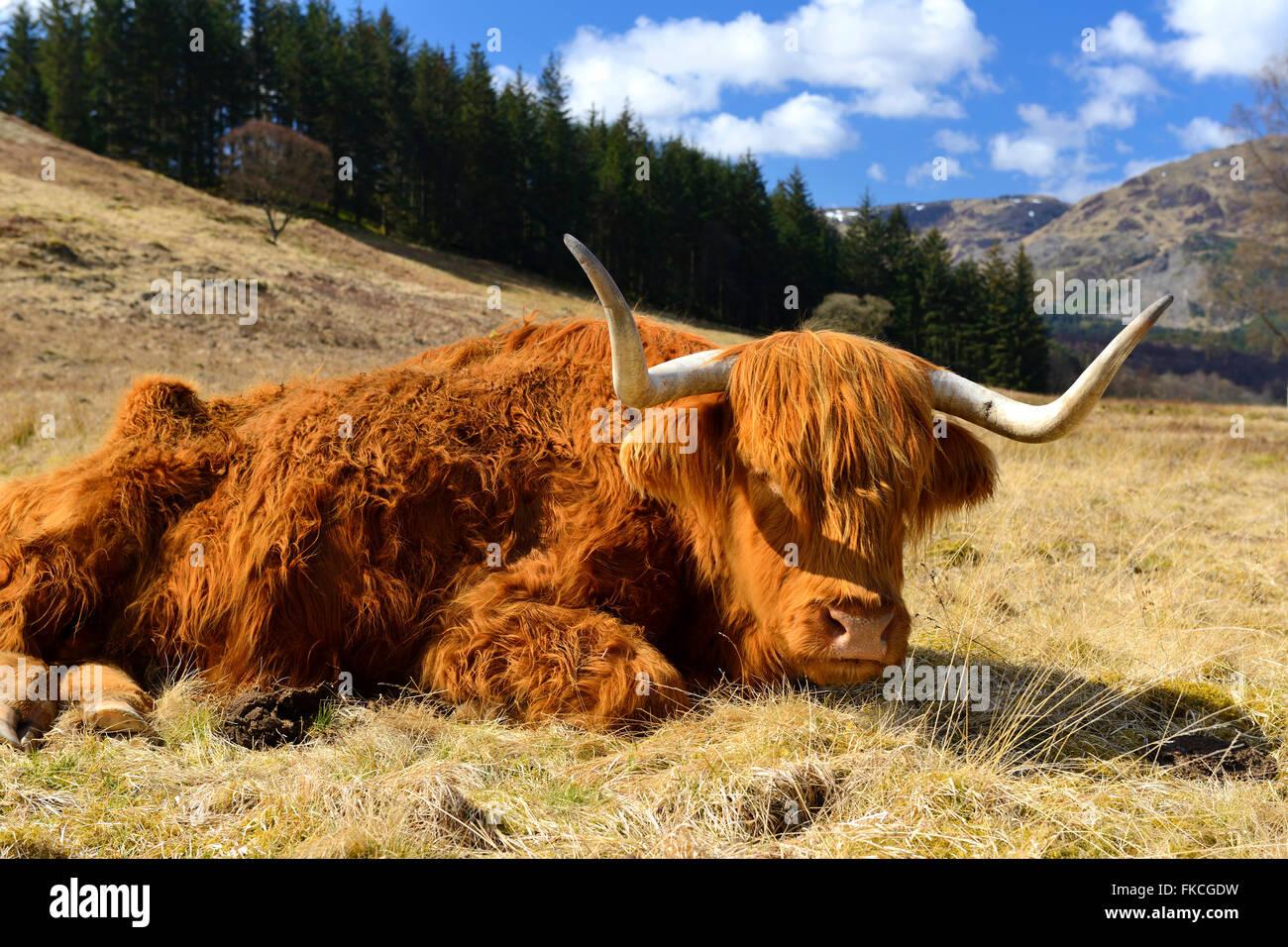 Highland mucca che stabilisce, Achray Forest Drive, Trossachs, Scotland, Regno Unito Immagini Stock