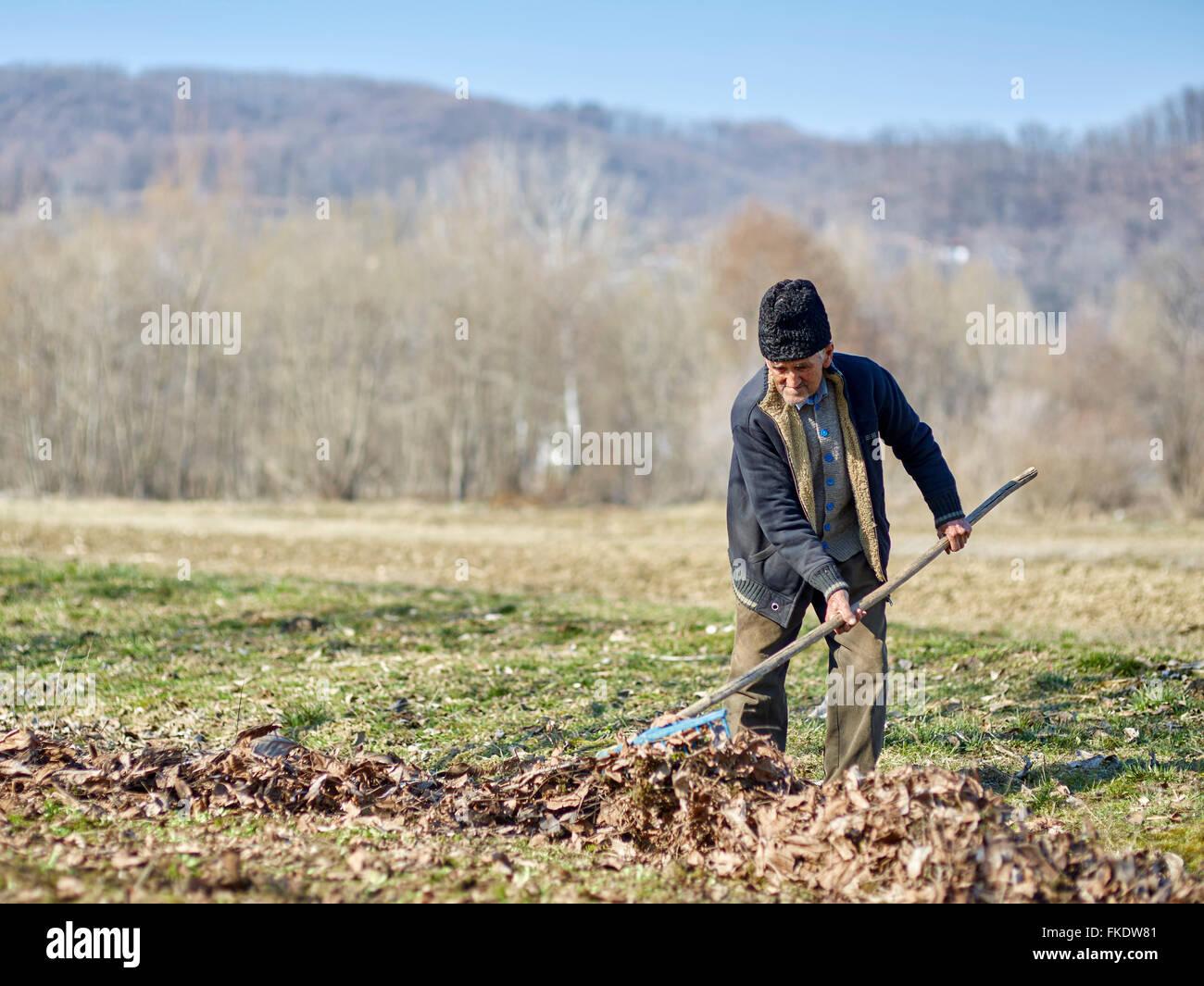 Senior agricoltore pulizia lascia morto da un frutteto di noce Immagini Stock