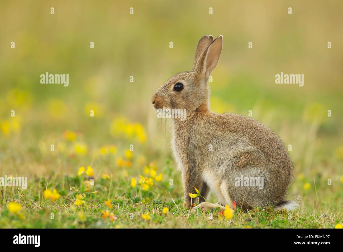 Unione di coniglio o di lepre comune (Oryctolagus cunniculus), giovane animale con fiori gialli, Suffolk, Regno Immagini Stock