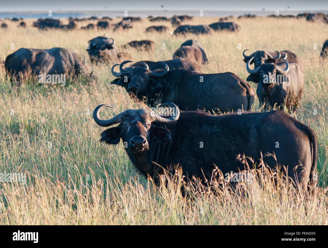 Mandria di bufali (Syncerus caffer), il Masai Mara riserva nazionale, Kenya, Africa orientale Immagini Stock