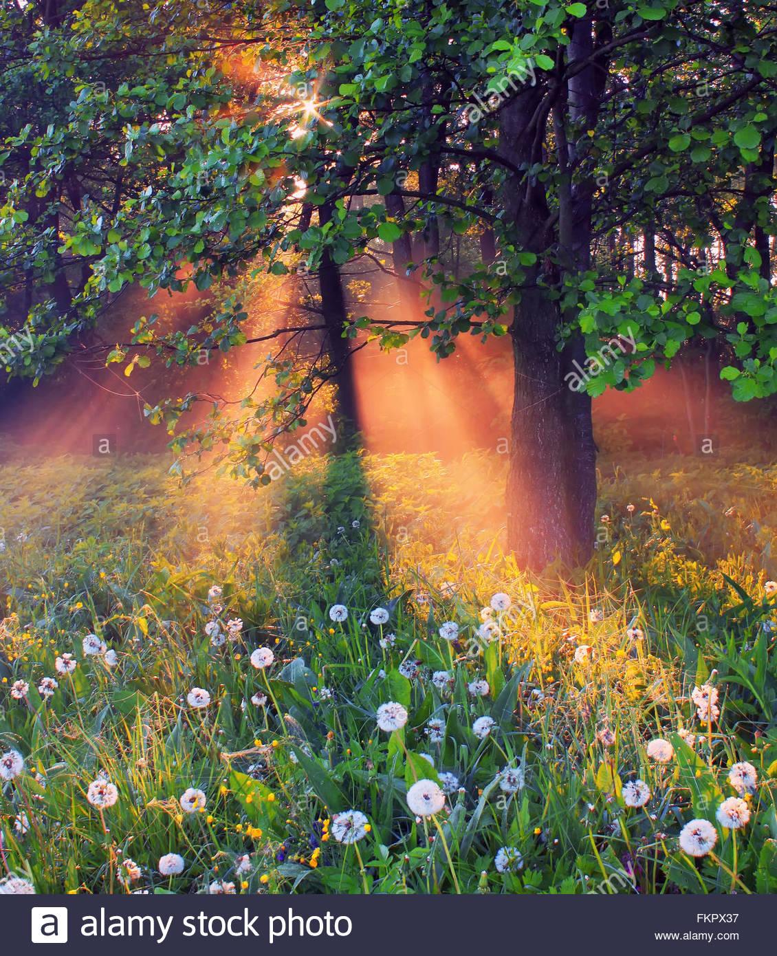 Incredibile foresta con fioritura di tarassaco nel sole al mattino Immagini Stock