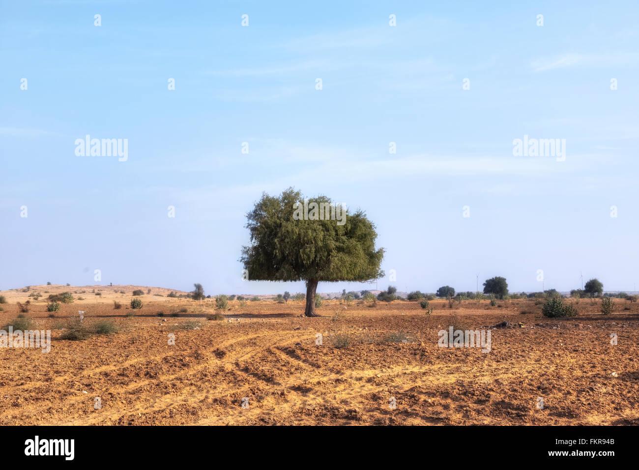 Acacia nel deserto di Thar, Rajasthan, India Immagini Stock