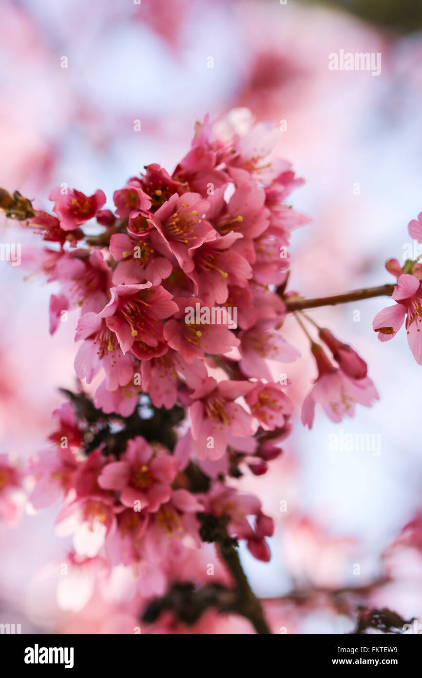 Fresche, albero in fiore in primavera con fiori di colore rosa Immagini Stock