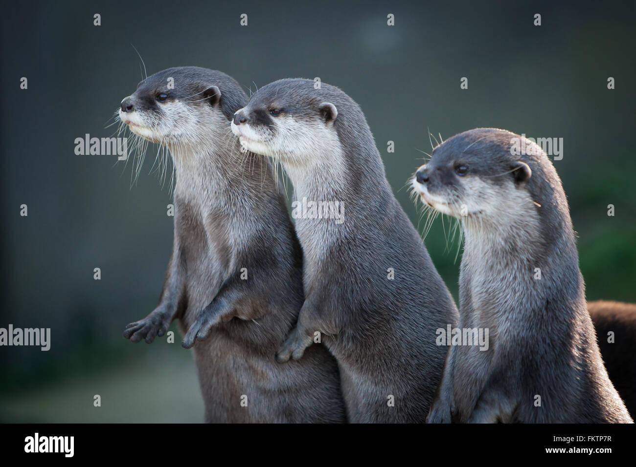 Tre prigionieri piccoli asiatici artigliato lontre guardando in lontananza. Immagini Stock