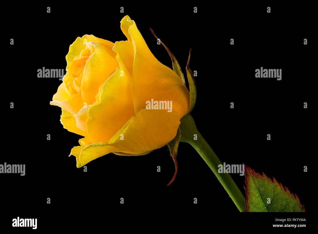 Primo Piano Di Una Rosa Gialla Su Sfondo Nero Foto Immagine Stock