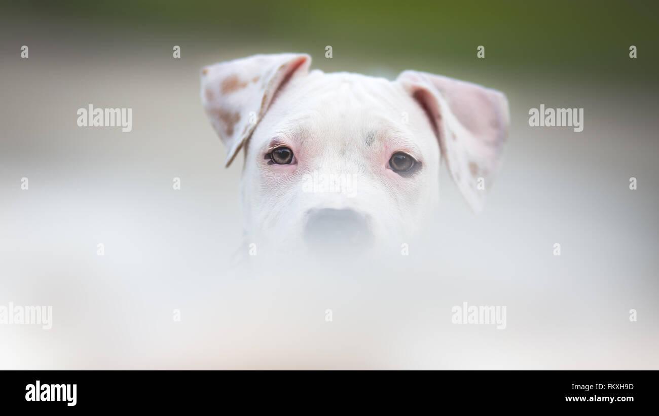 Bianco American Staffordshire terrier cucciolo Foto Stock
