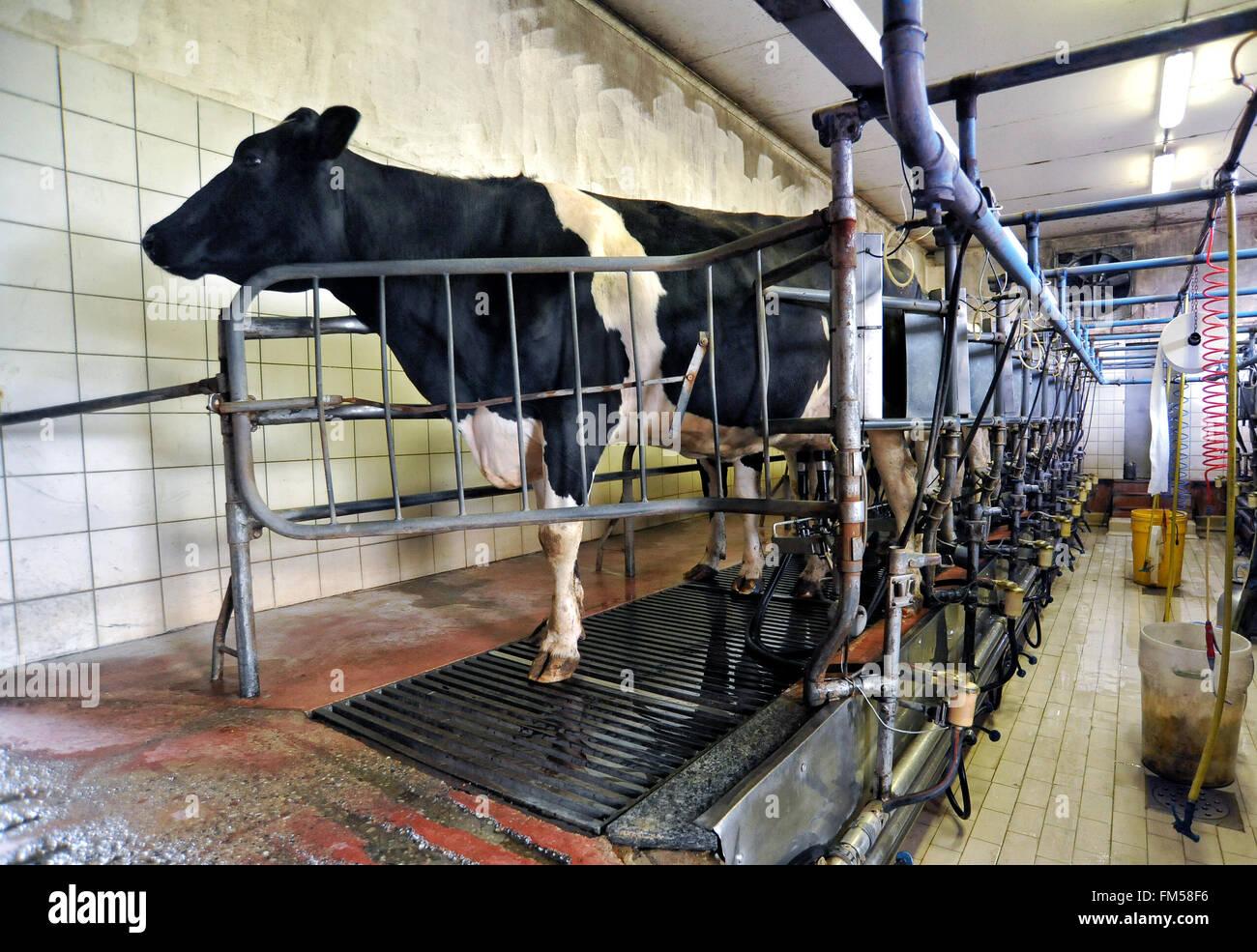 Holstein vacca da latte attaccato a una macchina di mungitura in un sistema automatizzato di una sala mungitura Immagini Stock