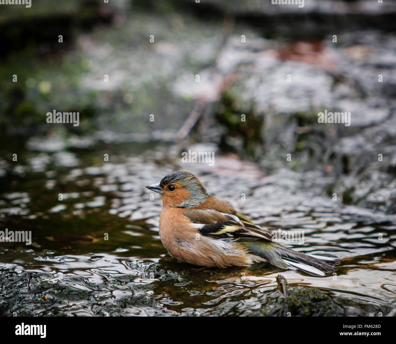 Fringuello la balneazione nel giardino inglese stream. Immagini Stock