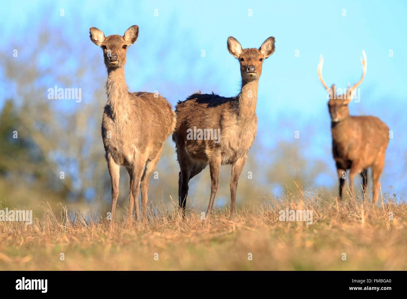 Francia, Haute Saône, parco privato di Sika cervo (Cervus nippon), gruppo di femmine con youngs Immagini Stock