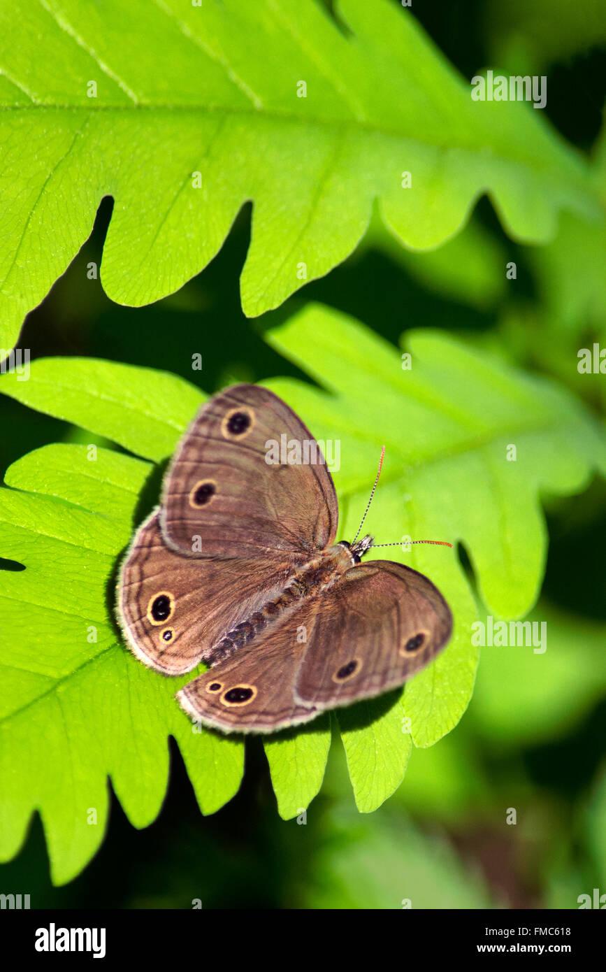 Piccolo bosco satiro butterfly con alette aperte in appoggio su un luminoso verde foglia di felce in habitat boschivo. Immagini Stock