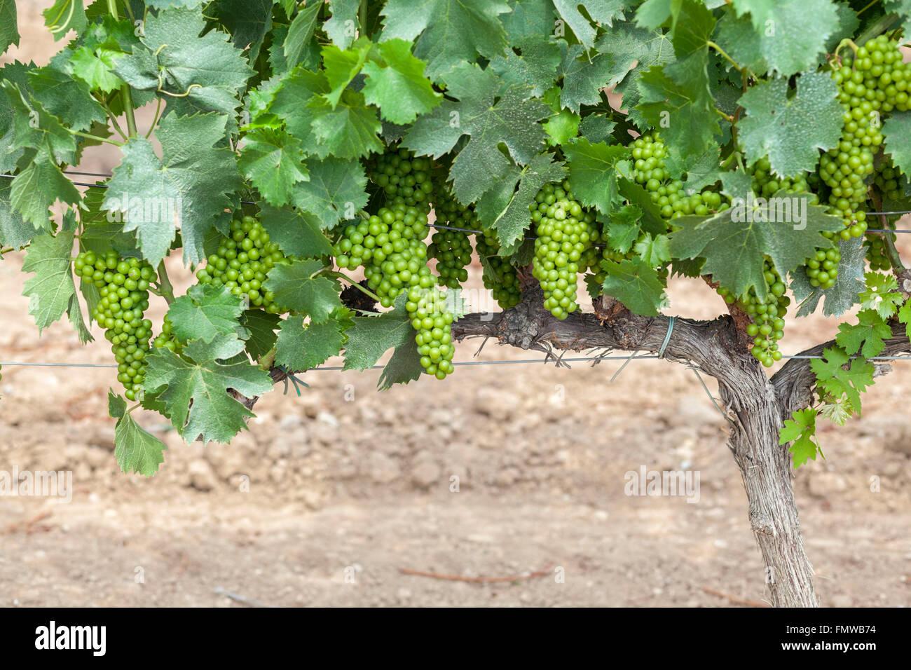 Vigneti grappoli di uva Vilafranca del Penedès,Catalogna,Spagna. Immagini Stock