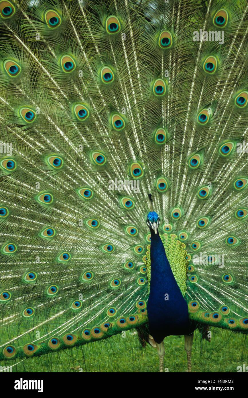 Peafowl comune, Indian Peacock (Pavo cristatus), maschio visualizzazione di piume modellato Immagini Stock