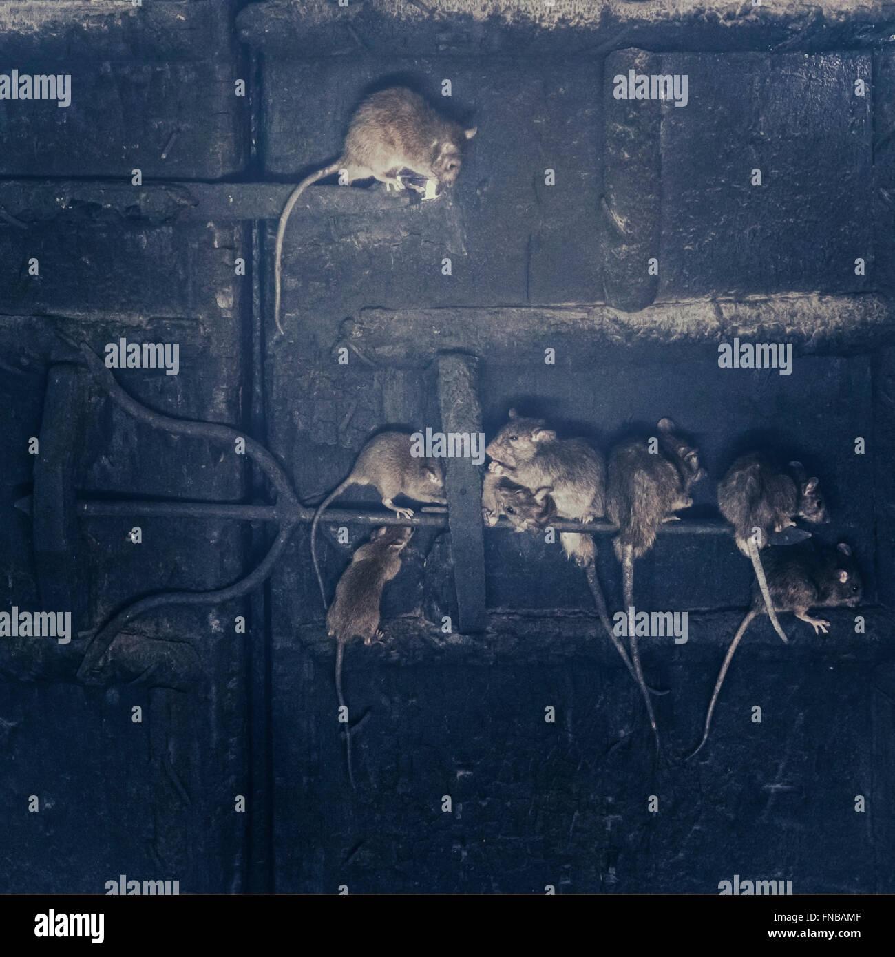 Ratti su di una vecchia porta di legno in un castello Immagini Stock