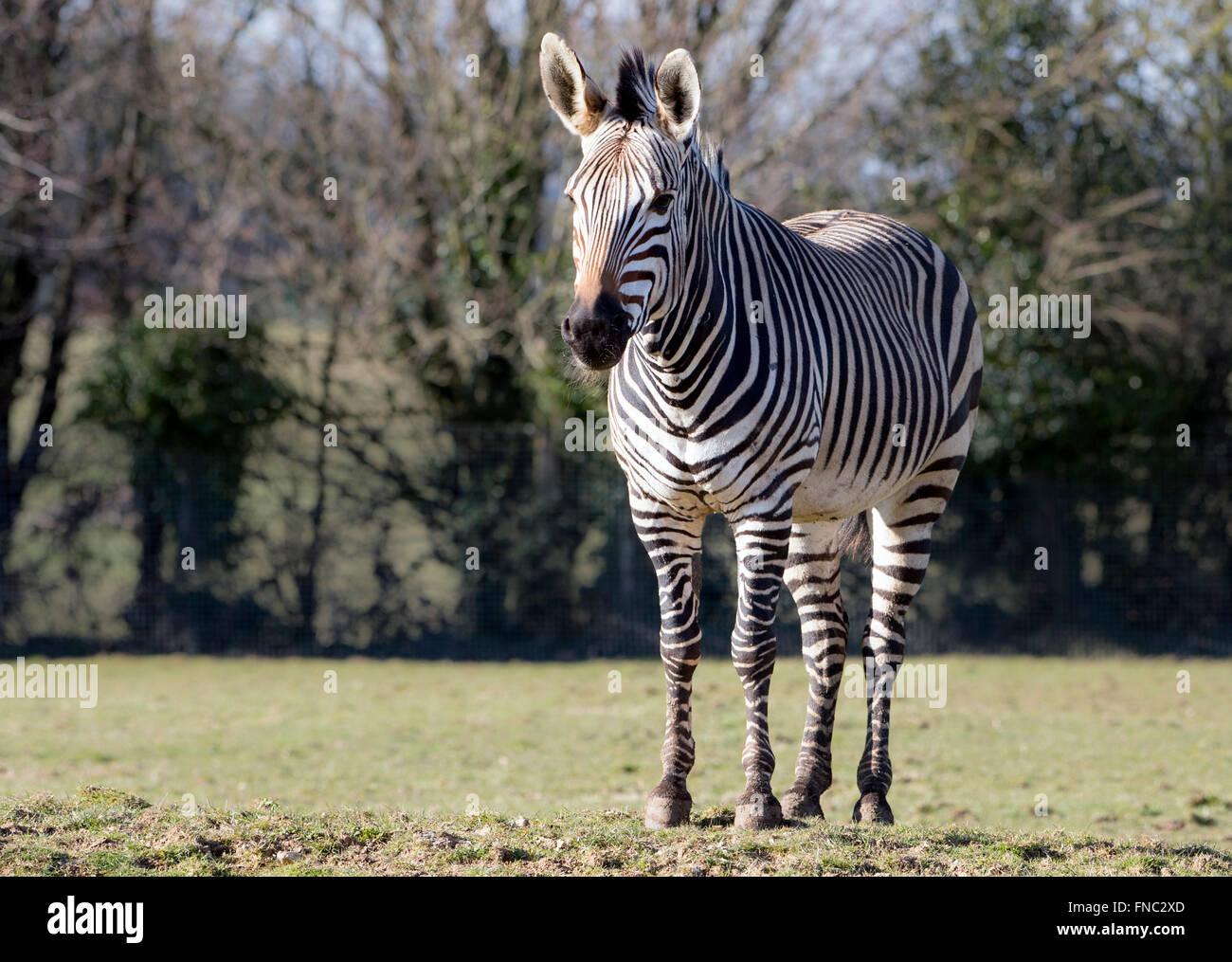 Zebra di Hartmann in pascolo, guardando verso la telecamera Immagini Stock