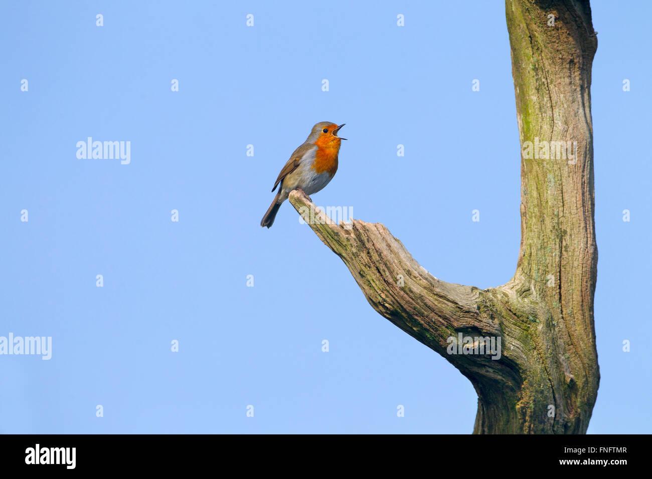 Robin Erithacus rubecula cantando nei primi giorni di marzo Immagini Stock