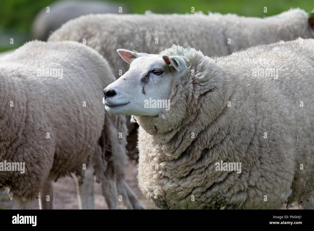 Pecore in Prato Immagini Stock