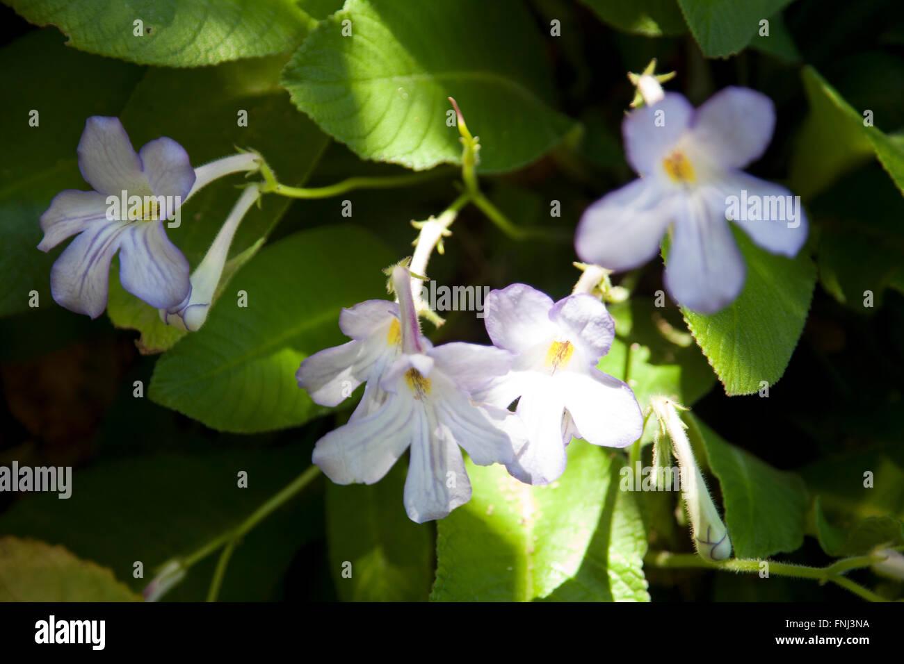 Streptocarpus Pondo / Streptocarpus Formosus a Kirtsenbosch in Città del Capo - Sud Africa Immagini Stock