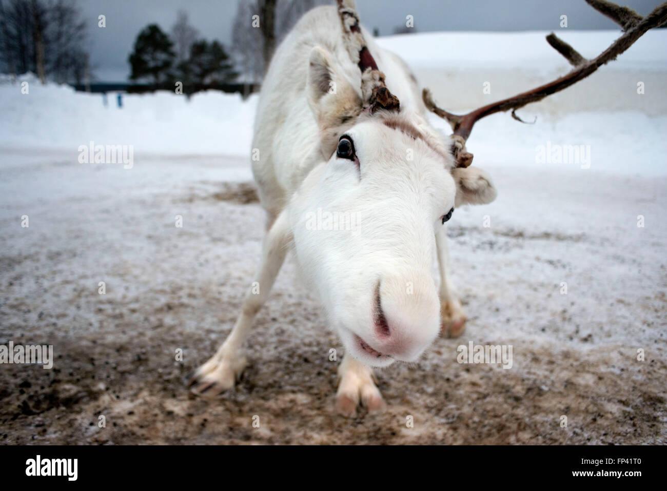 Le renne in Lapponia Rovaniemi FINLANDIA. La renna è una icona della Lapponia finlandese, e c'è una Immagini Stock