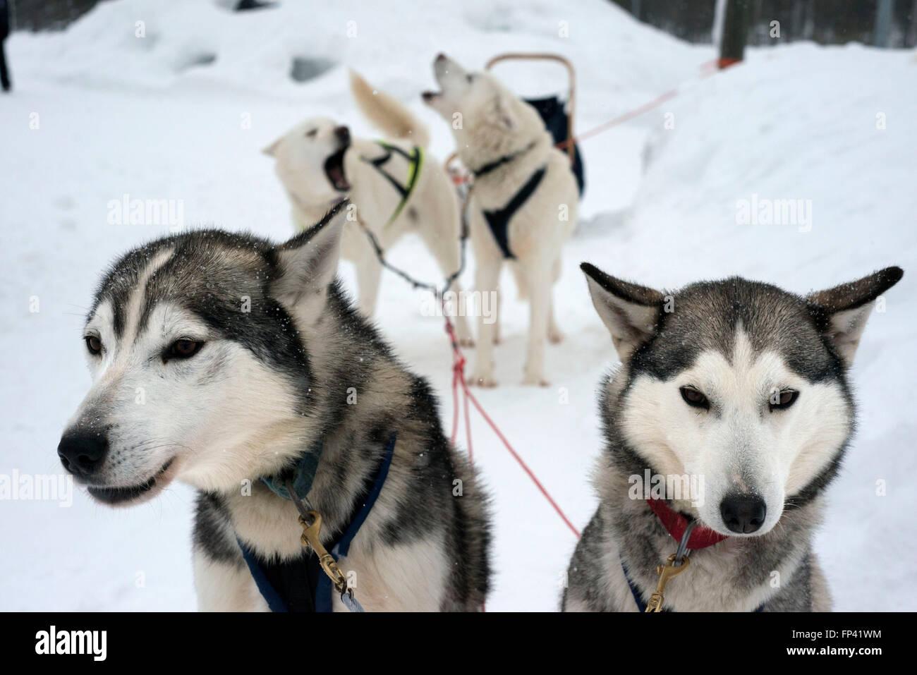 Salla husky safari. La Lapponia, Finlandia. Prima il safari la nostra guida vi darà una lezione di guida e Immagini Stock