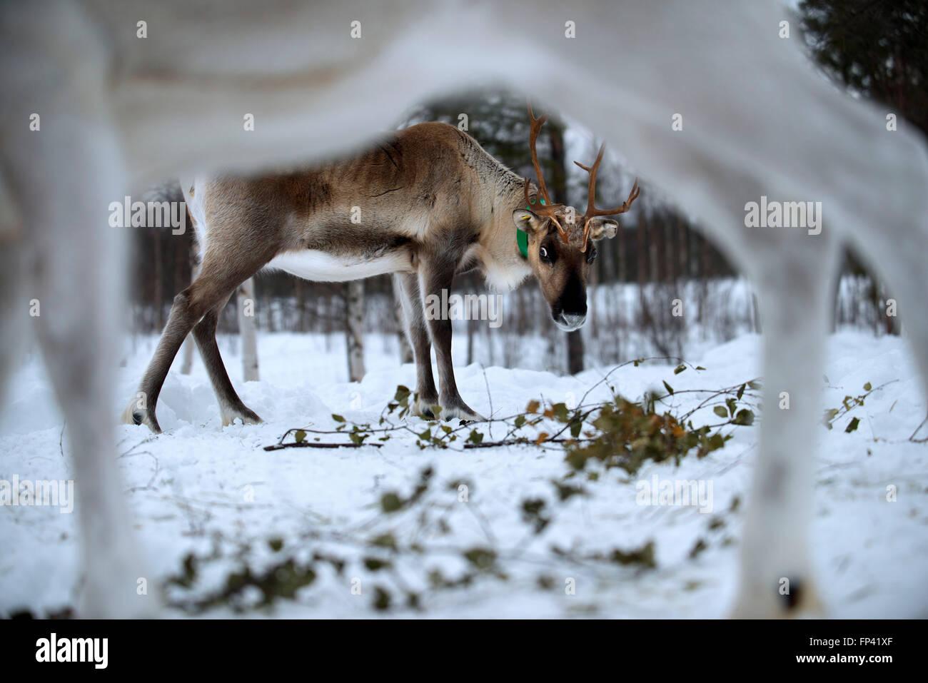 Fattoria di renne nella Salla, Lapponia finlandese. La renna è una icona della Lapponia finlandese, e c'è Immagini Stock