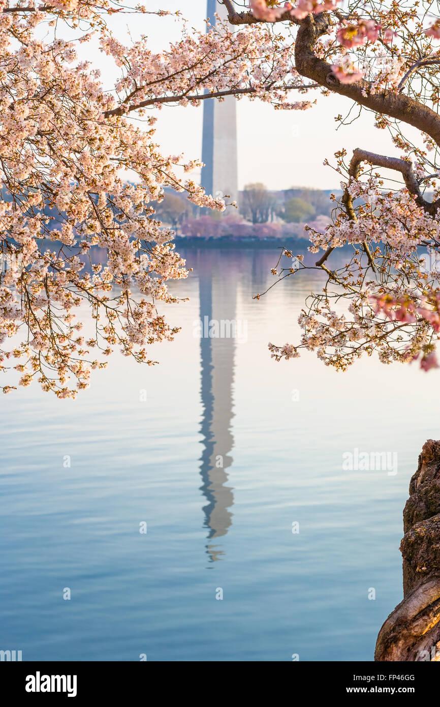 Washington DC e il Monumento a Washington che riflette nell'acqua del bacino di marea in una giornata di mare calmo. National Cherry Blossom Festival. Foto Stock