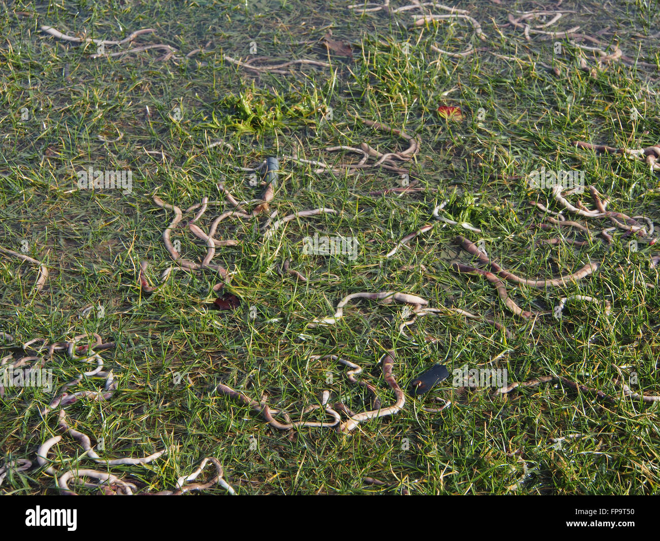 Una moltitudine di lombrichi superficie su un campo allagato dopo la pioggia pesante Foto Stock