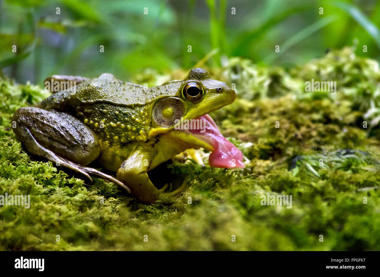 Alimentazione di rana vicino a bocca aperta Foto Stock