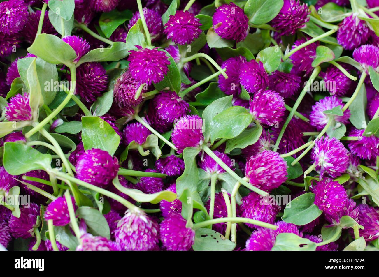 Viola Amaranto globo o pulsante di Bachelor fiore (Gomphrena globosa L.) Immagini Stock