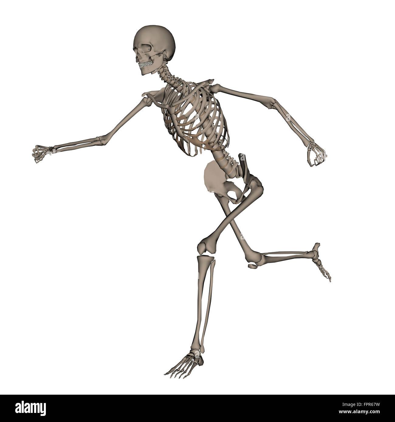 Vista anteriore dello scheletro umano in esecuzione, isolati su sfondo bianco. Foto Stock