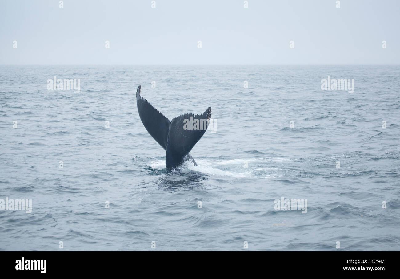 Coda di balene Humpback ocean bay wildlife mare balene acqua marina naturale la visione di mammifero splash vita Immagini Stock
